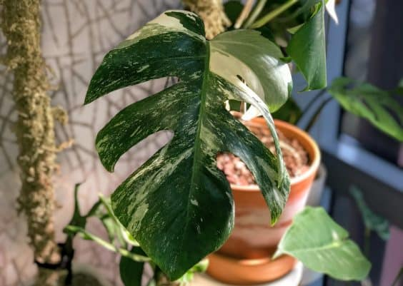 Variegated Monstera Deliciosa Borsigiana Care