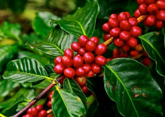 Coffee Plant Care