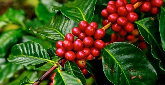 Coffee Plant Care