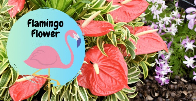 Anthurium Flamingo Flower
