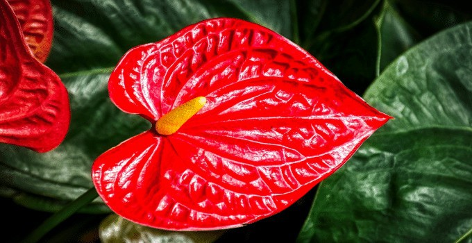 Anthurium Plant Care Guide