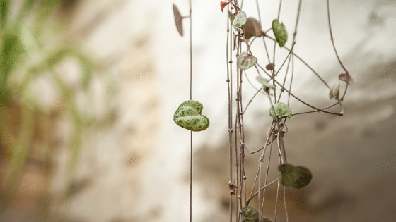 Ceropegia Woodii Plant Care