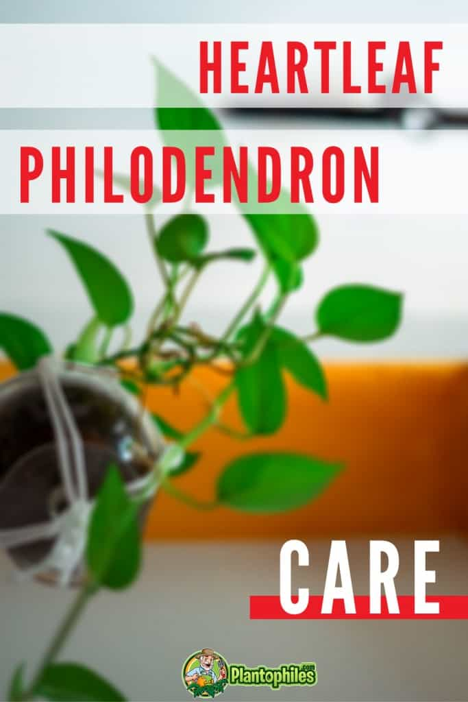 Heartleaf Philodendron Care Tips