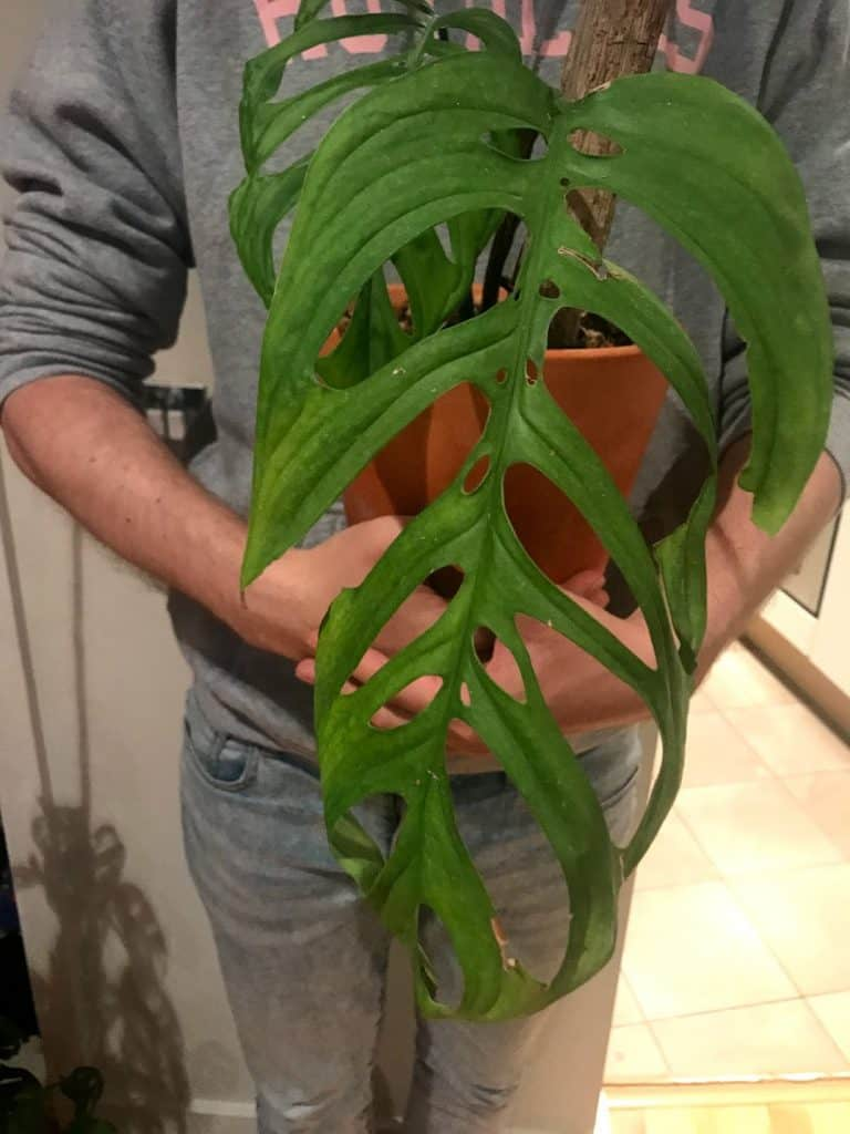 Monstera Epipremnoides