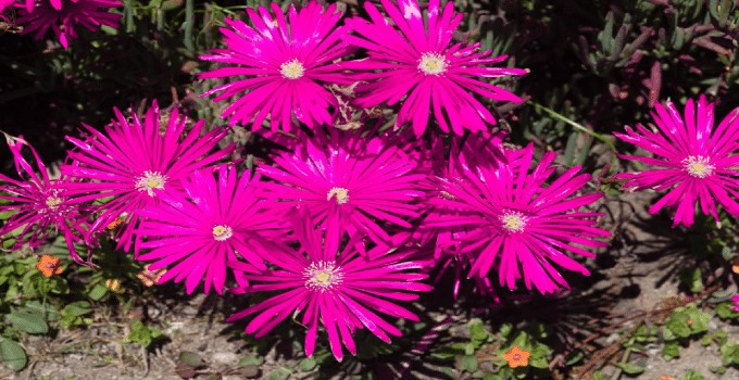 Ice Plants Care Guide