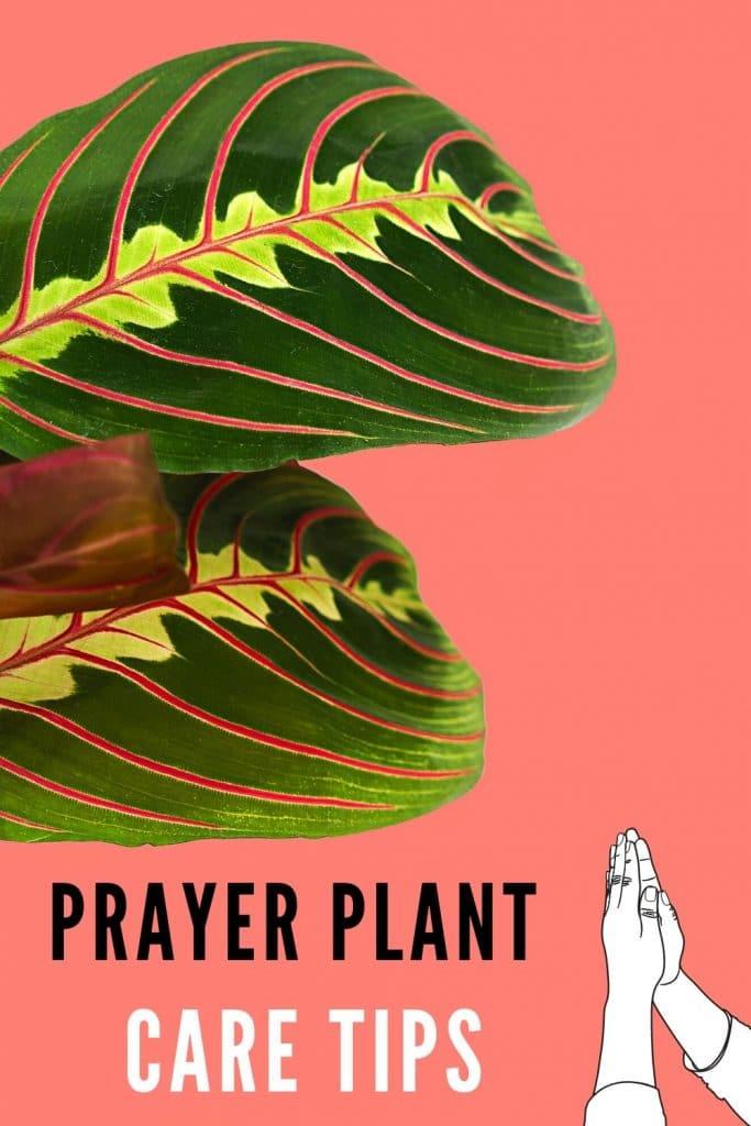 Prayer Plant Plant Care Guide