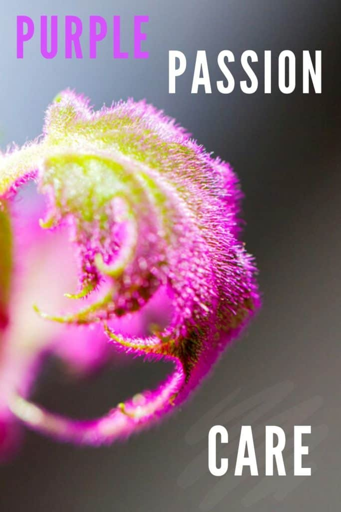 Purple Passion Care