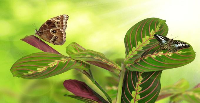 Prayer Plant (Maranta Leuconeura) Plant Care