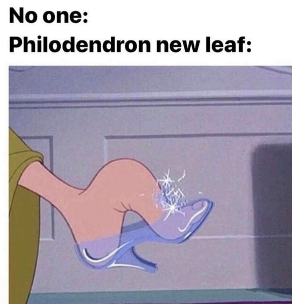 No one: Philodendron new leaf Philomedron