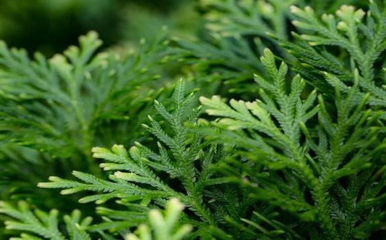 Selaginella Plant Care