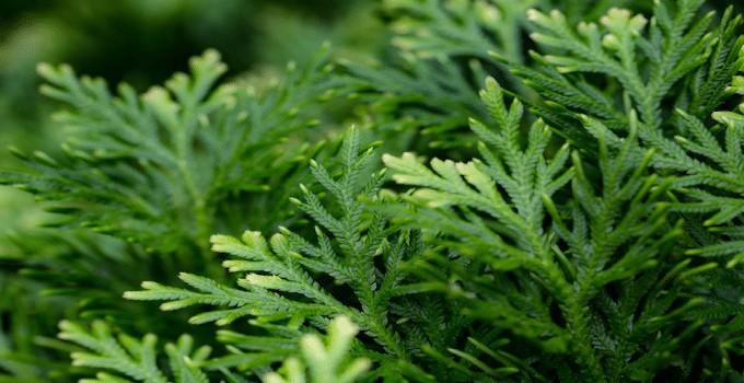 Selaginella Apoda Plant Care