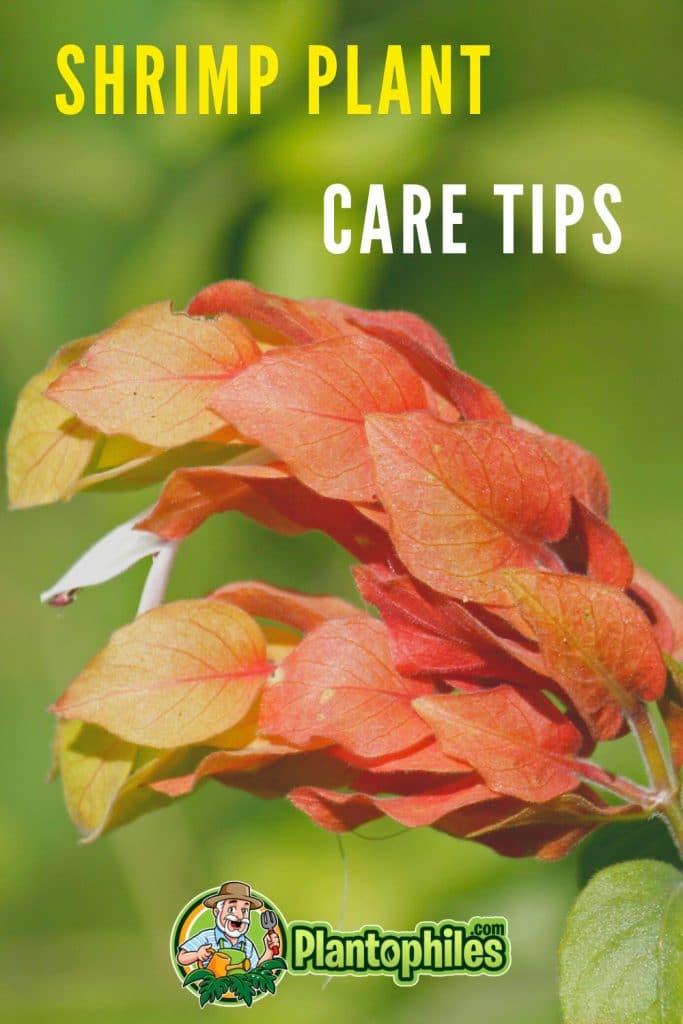 Shrimp Plant Care Tips