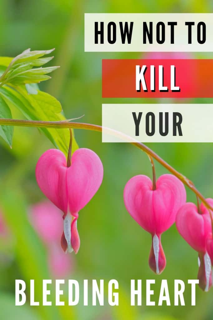 Bleeding Heart Houseplant