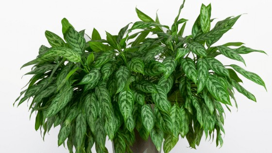 Chinese Evergreen are adaptive to lower light and come in different colour variants