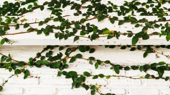 Creeping figs have striking heart-shaped foliage