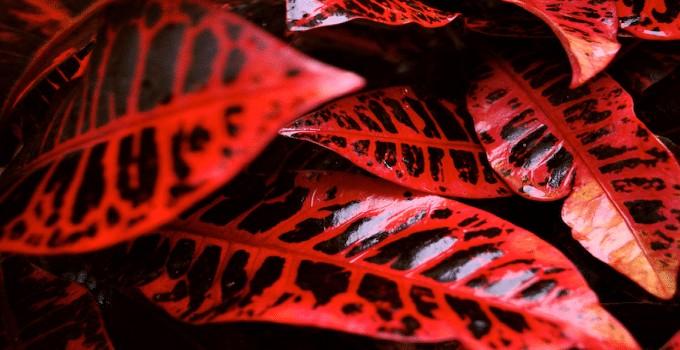Croton varieties