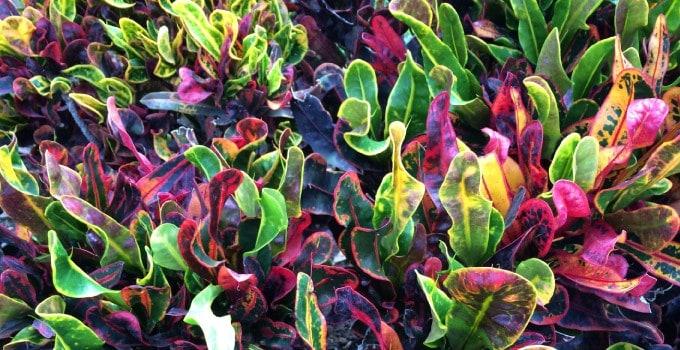 Croton plants diversity