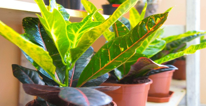 Croton Plant Care Guide