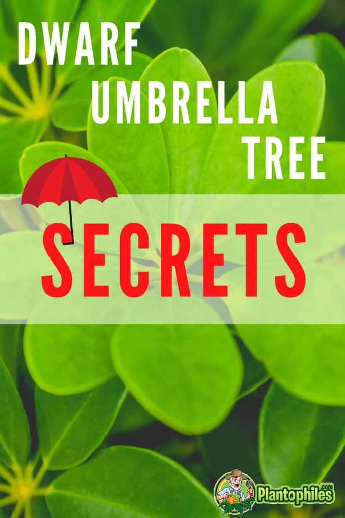 Dwarf Umbrella Tree Plant Care Secrets