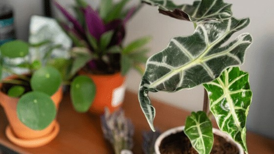 Elephant's Ear or Alocasia Polly tolerates lower light