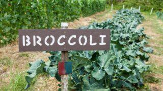 How to Grow Broccoli Best Gardening 101