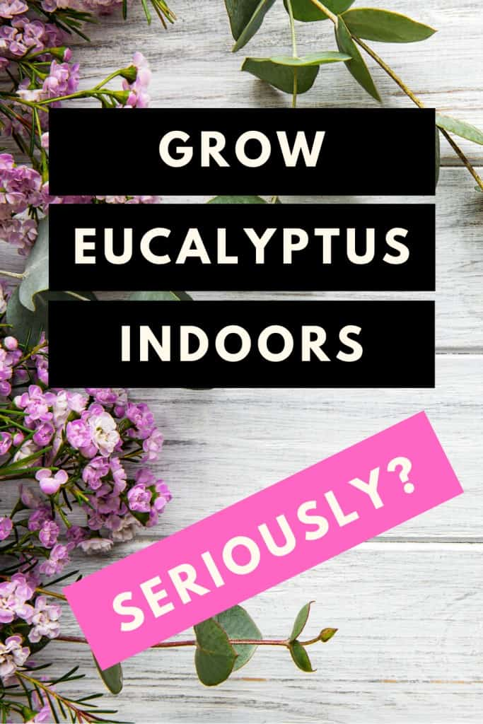 How to grow Eucalyptus indoors