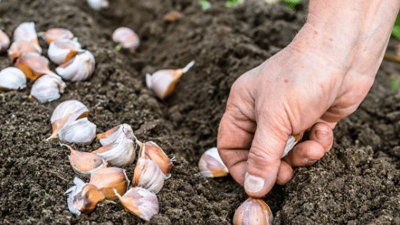 No Dig Gardening is a way of gardening where you are not destroying the fertile soil