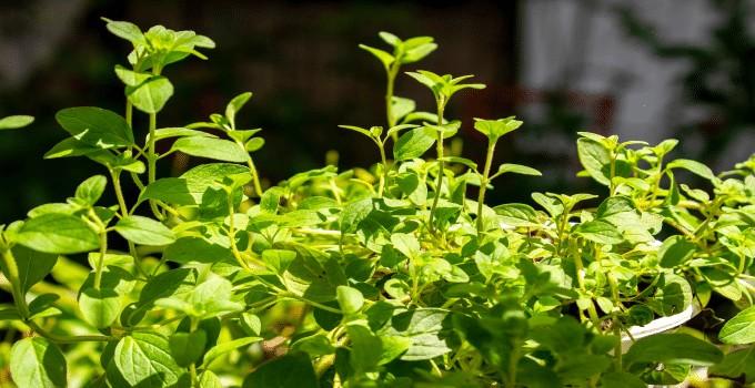 Oregano Plant