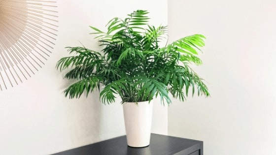 Parlor Palms are popular houseplants with a long houseplant history