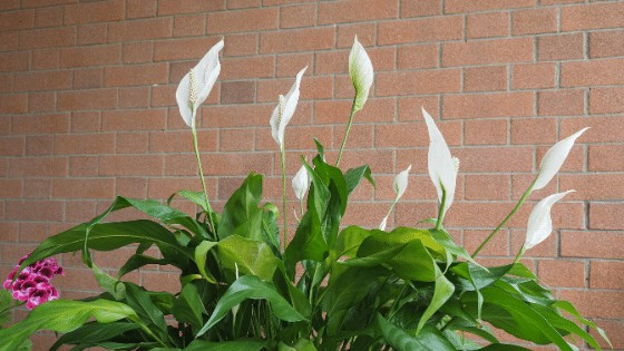 Peace Lily is one of our all time favourite houseplants
