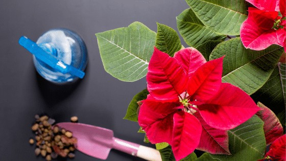 Poinsettia care requires frequent waterings and bright indirect light