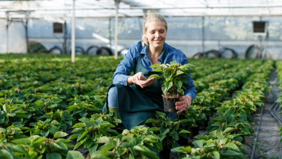 Poinsettia Propagation