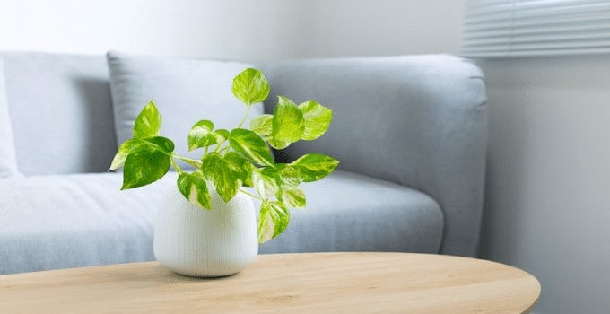 Pothos Plant Exotic Angel Plant