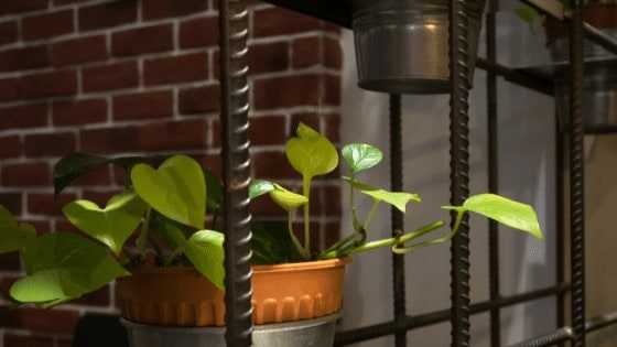 Pothos is one of the easiest plants to care for and doesn't need bright light