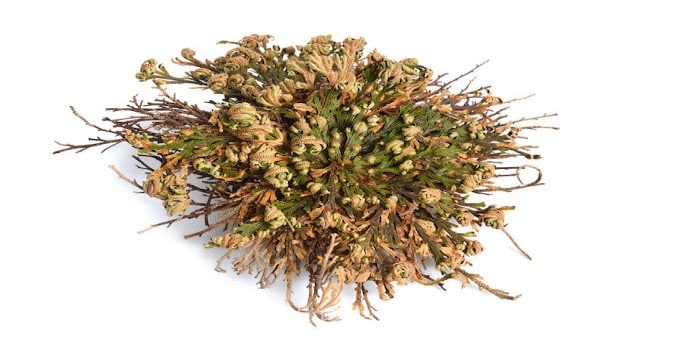 Resurrection Plant Selaginella lepidophylla