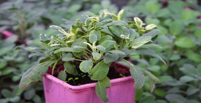 Sage plant Maxima