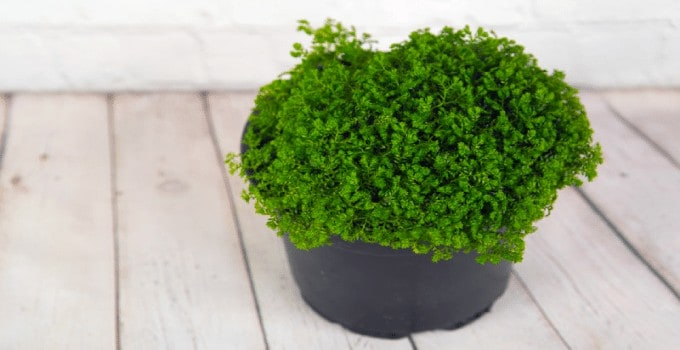 Selaginella Martensii (Martens's spike moss) Plant Care 101