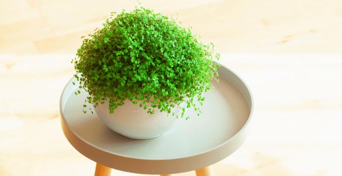 Baby's Tears (Soleirolia soleirolii) Plant Care 101