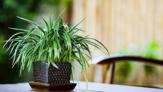 Spider Plant is a very popular houseplant