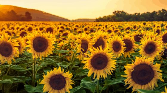 Yellow Flowers - Sunflowers