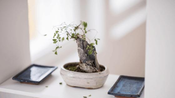 Bonsai Tree Problems