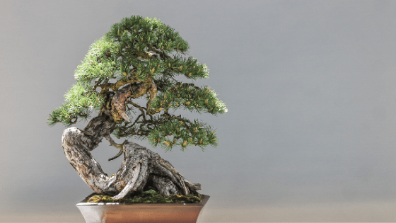 Bonsai means little tree