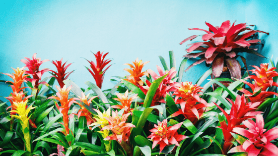 Bromeliad Care Explained