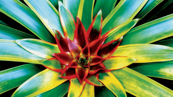 Bromeliad are watered at the centre of the plant