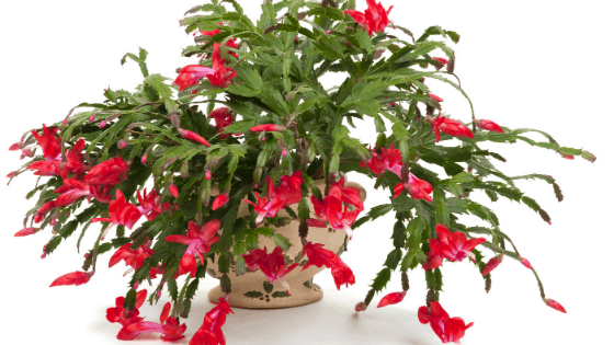 Christmas Cactus Care #1 – Amazing Hacks