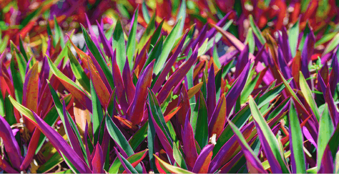Easiest Houseplants To Propagate Tradescantia Spathacea
