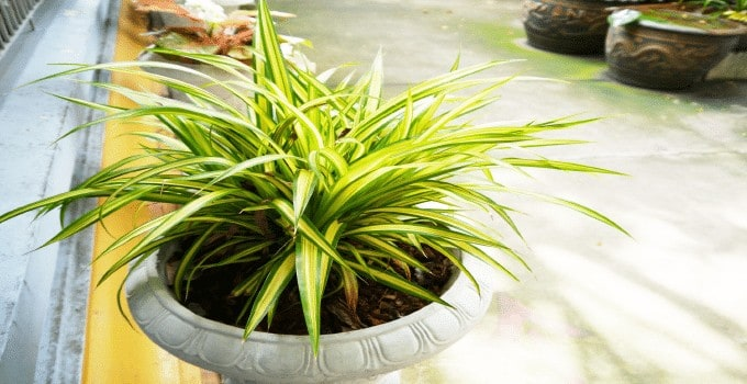 Easiest Plant to Propagate Spider Plant