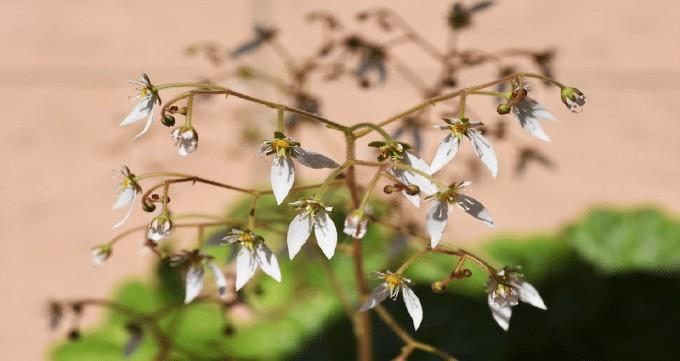 Easiest Plants to Propagate Saxifraga stolonifera