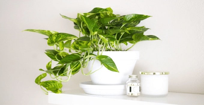 Easiest Plants to Propagate Pothos