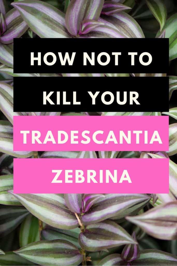 How not to kill your Tradescantia Zebrina (Wandering Jew)